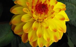Dahlia Yellow Blowfish