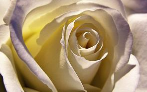 White Rose Anniversary
