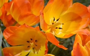 Tulips Orange Yellow