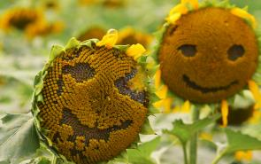 Sunflowers Happy