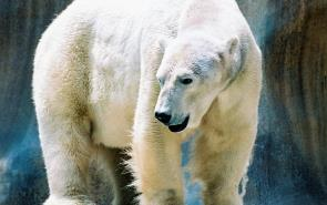 Bear Polar Shrinking Ice