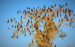 Christmas Tree Cormorants
